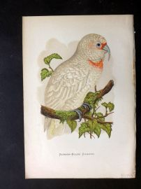 Greene Parrots in Captivity 1887 Hand Col Bird Print. Slender Billed Cockatoo